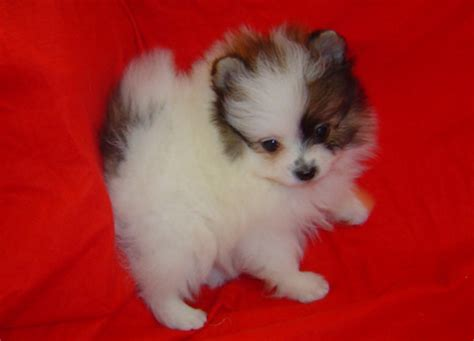 teacup pomeranian puppies for sale teacup pomeranian puppies