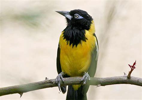 turpial ave nacional venezuela apexwallpapers com vivencias llaneras del abuelo el turpial como ave nacional