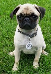 how much is pug puppy pug puppy pug pictures pug breeders pugs for sale black pug