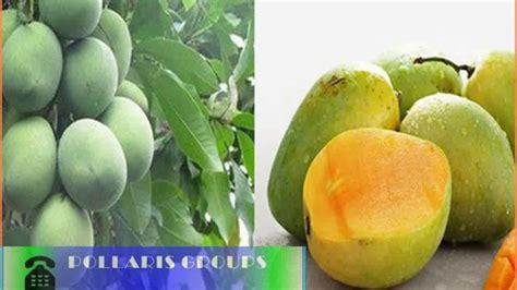 Bibit Mangga Kio bibit mangga kio jenis buah mangga unggulan jual bibit