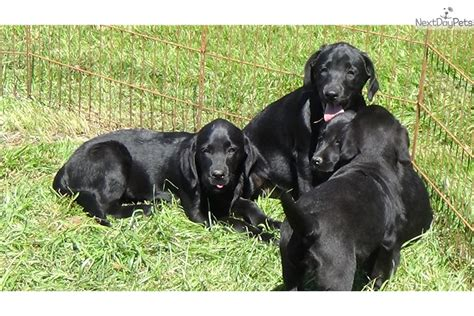 lab puppies sc akc black lab puppies black labrador retriever puppy for sale in greenville