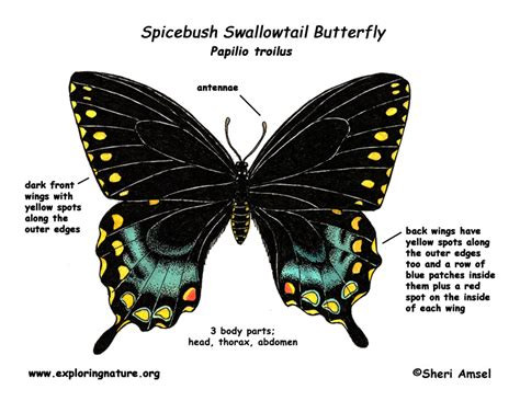 diagram of a butterfly butterfly spicebush swallowtail exploring nature