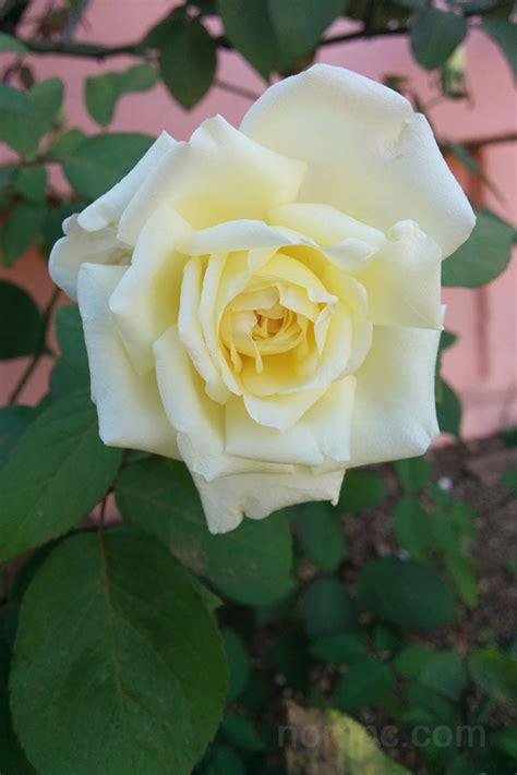 imagenes rosas jpg fotos de flores y rosas para fondo de pantalla del celular