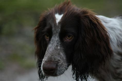russian breeds russian spaniel breed guide learn about the russian spaniel