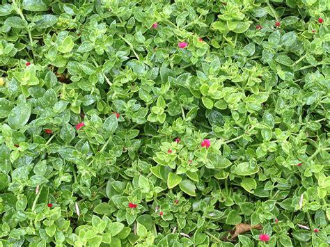 ice plant succulents pinterest