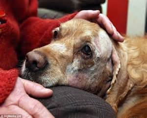 staffy cross golden retriever golden retriever attacked by stray staffordshire bull terrier daily mail