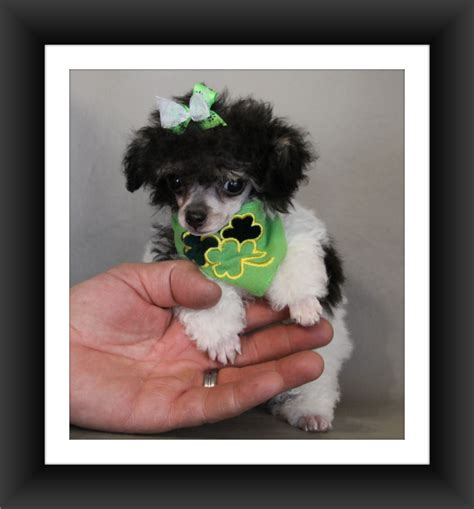 puppies for sale in eugene oregon poodle for sale eugene oregon dogs our friends photo