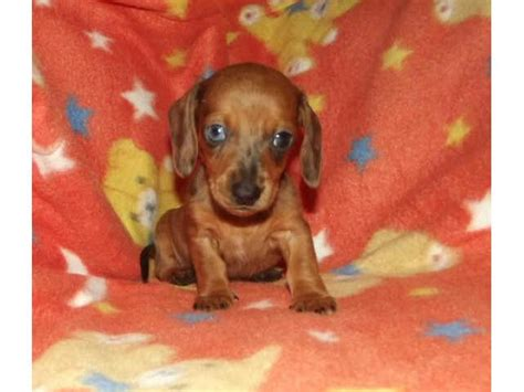 haired miniature dachshund puppies for sale miniature smooth haired dachshund puppies for sale puppies for sale