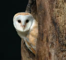 what is the barn owls scientific name barn owl facts barn owl barn owls information