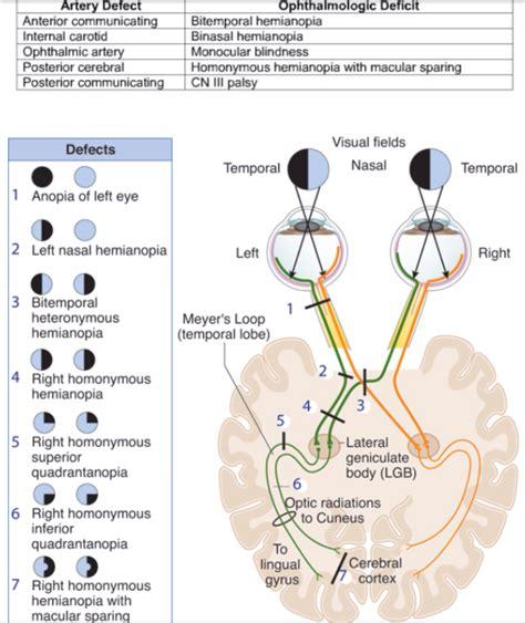visual cortex diagram visual system diagram wiring diagram schemes