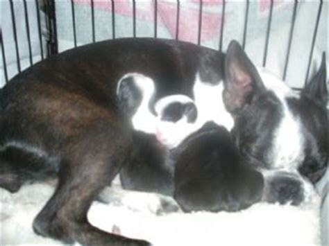 boston terrier puppies mn boston terrier puppies for sale in mn breeds picture