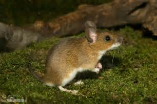 yellow necked field mouse pictures yellow necked field