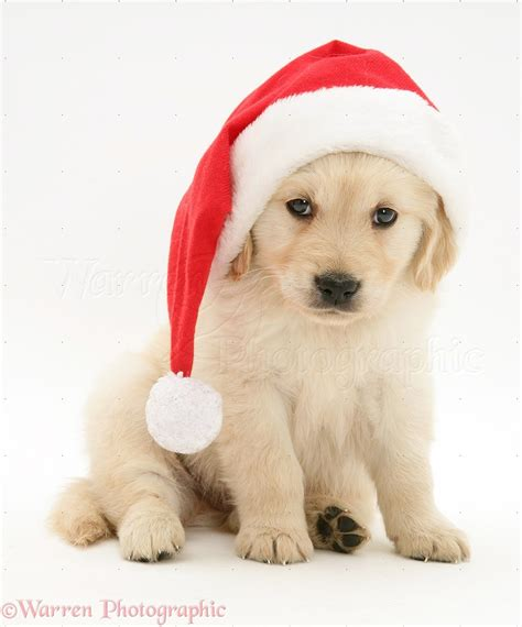 golden retriever christmas wallpaper wallpapersafari