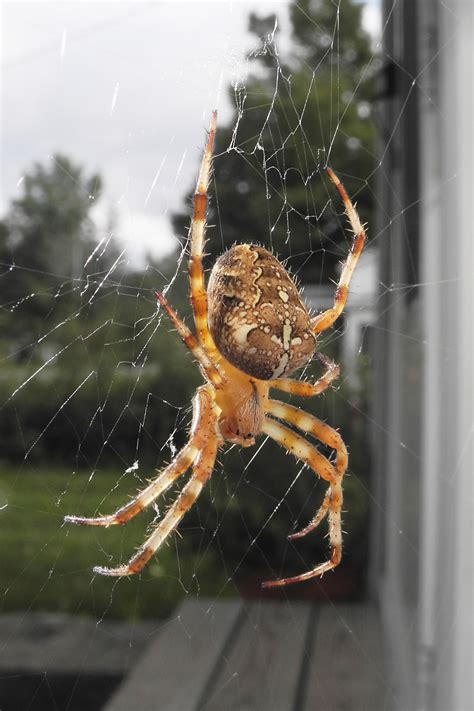 Garden Spider Illinois Cross Orb Weaver Spiders Spider Insects