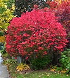 transplanting a burning bush when to move burning bushes
