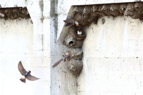 bringing back the famous swallows of mission san juan