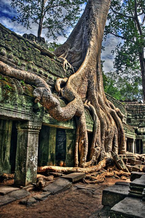 angkor wat temple tree
