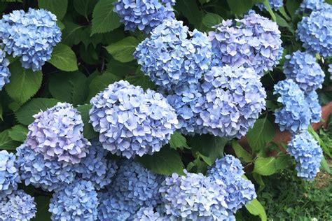 Hortensien Pflanzen Und Pflegen 4462 by Hortensie Hydrangea 187 Pflege Vermehrung Majas