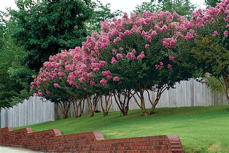 Flowering House Plants Identification guide to crepe myrtles southern living