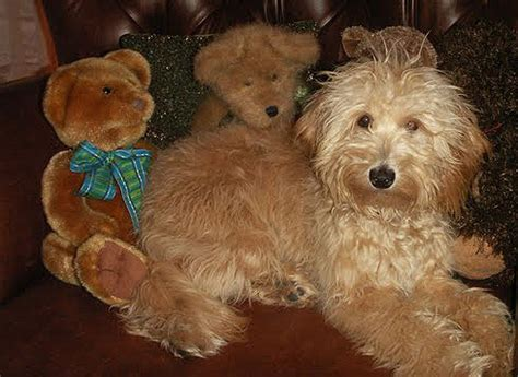 goldendoodle puppy care goldendoodle puppy care goldendoodle and mini