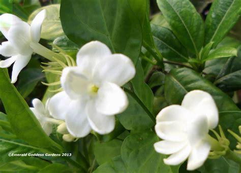 fragrant plant arabian tea sambac plant of orleans fragrant