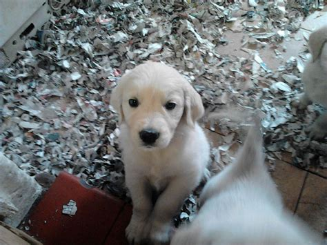 golden retriever dogs for sale golden retriever puppies for sale market drayton
