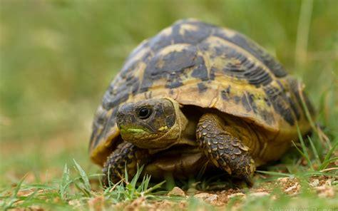 Peliharaan Anakan Kura Kura Baby Turtle tiere schildkr 246 te wallpaper