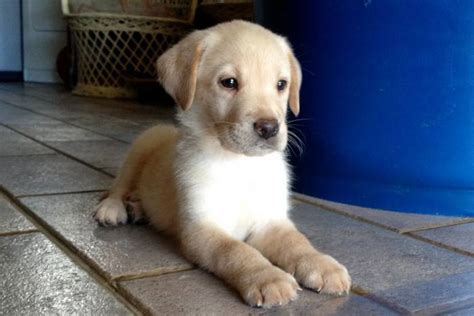 Photo Haavei : mâle 1 mois et demi Labrador crème ...
