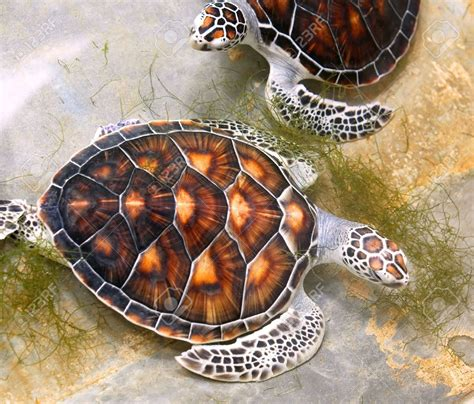 colors of turtles green sea turtle shell 検索 brushin sea turtle
