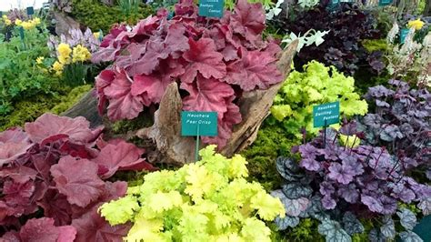 top 28 caring for heuchera 510 best ideas about