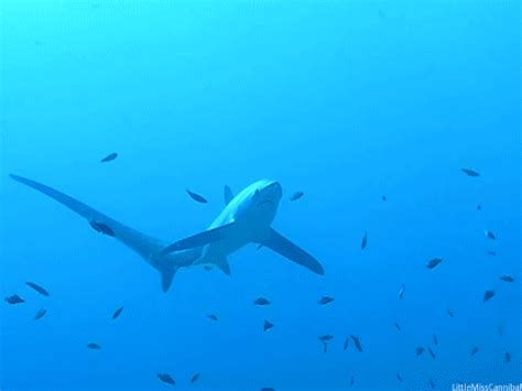 Gif Animals Science Sharks Biology Marine Biology Behavior - thresher shark on tumblr