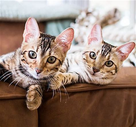 how to keep your cat from scratching your couch cat kitten care articles petsmart