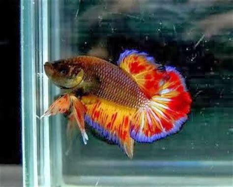 macam macam gambar ikan cupang hias ikan cupang laga ikan cupang aduan azolla magelang