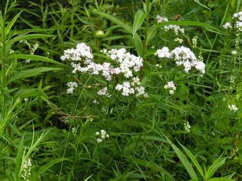 bed straw northern bedstraw pere marquette rail trail wildflowers