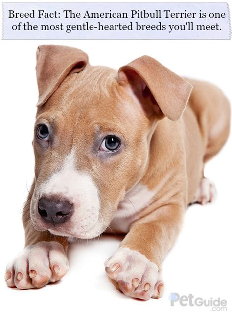 american pitbull puppy american pitbull terrier