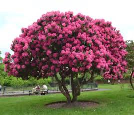 rododendron rhododendron tree solit 233 r in garden pinterest gardens pictures and trees