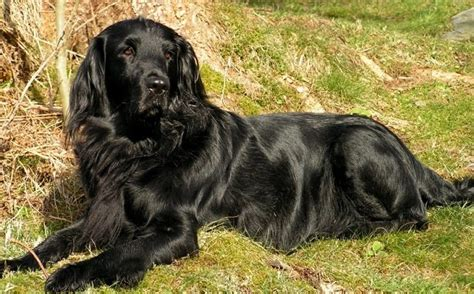 flat coated retrievers today book dog breeds flat coated retriever characteristics and behavior dogalize