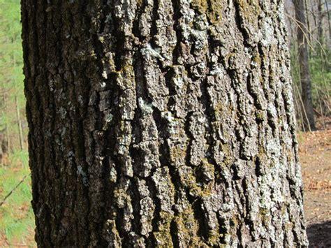 white oak tree bark trees of sutton massachusetts