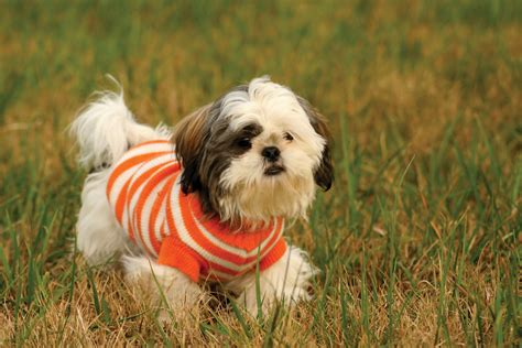 shih tzu original breed shih tzu origin