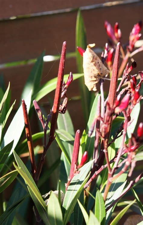 wann schneidet oleander oktober r 252 ckblick farbenpracht vor der einwinterung