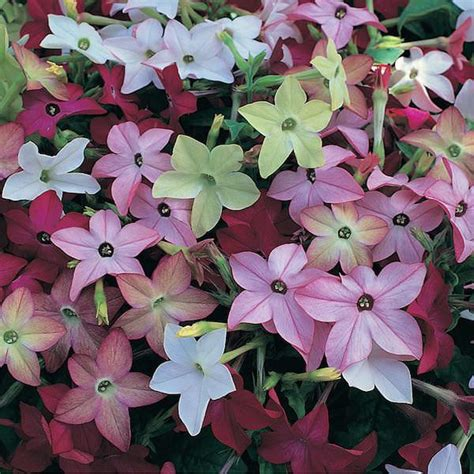 Fragrant Bedding Plants - nicotiana seeds 15 flowering tobacco annual flower seeds