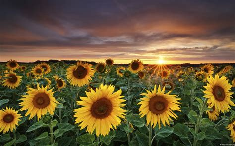 Unique and beautiful sunflower fields are truly something to behold