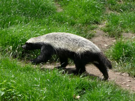 honey badger wikiwand