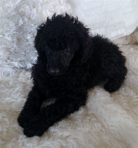 standard poodle puppies standard poodle puppies new information below now 8 weeks and bed mattress sale