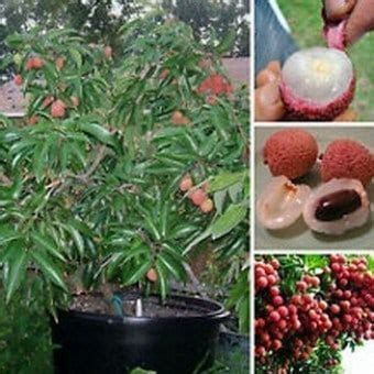 Bibit Pohon Buah Leci budidaya buah leci di rumah bibit