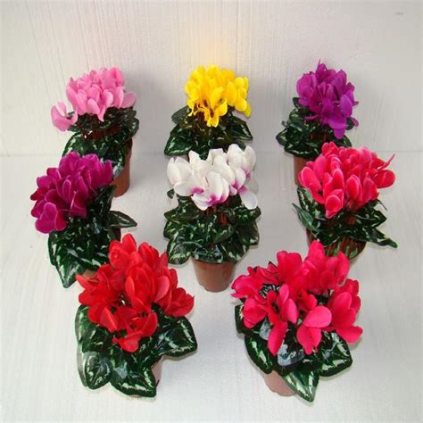 cyclamen color 2017 wholesale flowers potted cyclamen bulbs potted