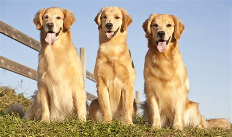 3 golden retrievers golden retriever