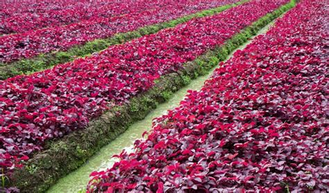 Lu Hias Warna Warni 24 jenis tanaman hias tahan panas matahari tanaman hias
