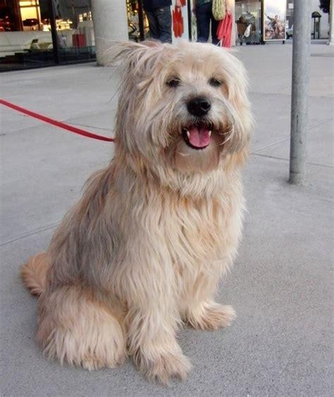 tibetan terrier shih tzu mix tibetan terrier maltese mix images