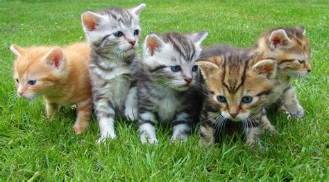 color kittens assorted color kittens 183 free stock photo